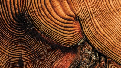 MU researchers analyze trees, such as this circa 1686–1813 red pine section from Wisconsin, to look back in time.