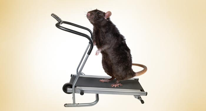 Rat on a treadmill