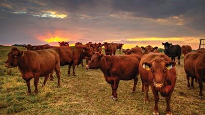cows_web