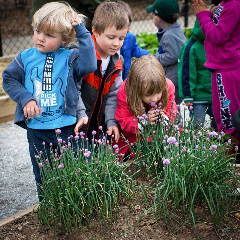 Children from Green Door smelling the chive flowers in the sensory and herb garden. Chives produce vibrant purple blossoms in the spring and they are both visually and aromatically engaging for the children... as you can see here. We encourage the children to practice gently feeling the plants and smelling everything in this part of our garden.