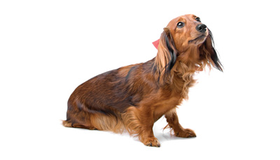 dachshund-expanded