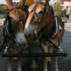 Two mules.