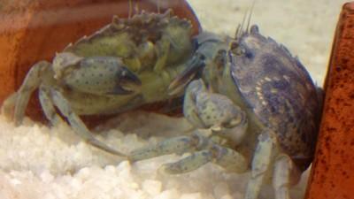 crabs-neurons