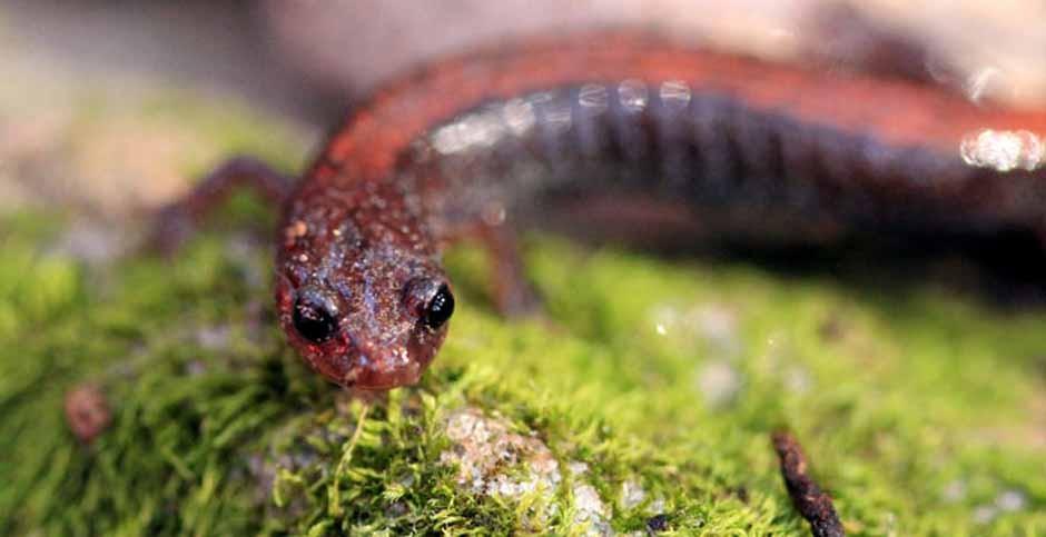 Southern redback salamander.