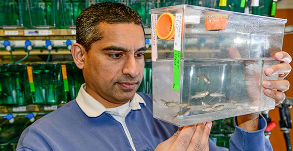 Anand Chandrasekhar with zebrafish.