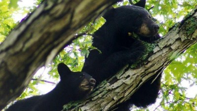Black bears in a tree.