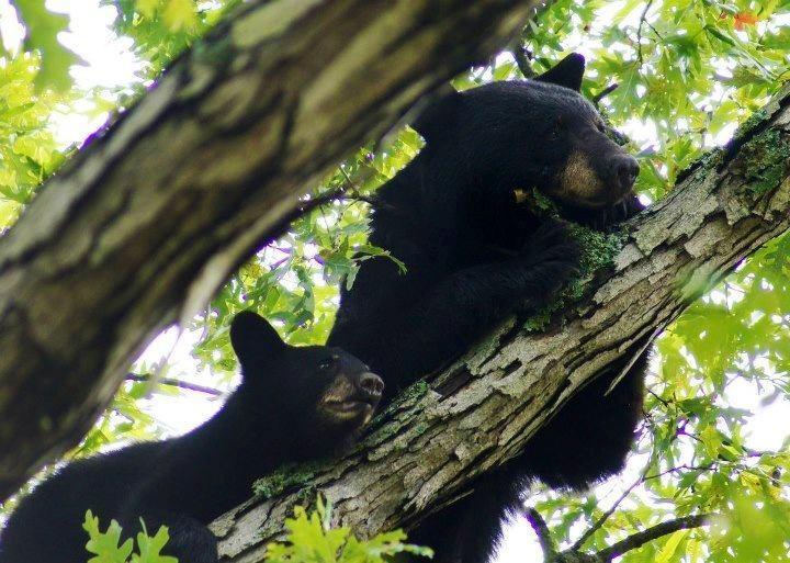 Black bears in a tree.