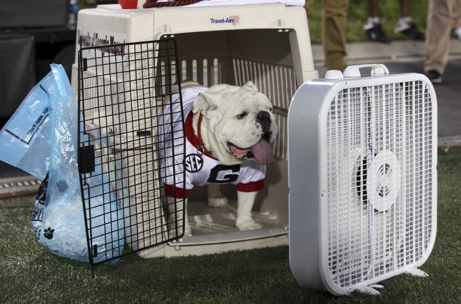 Bulldog with a fan.