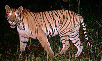 Photo of a tiger taken at night by a device designed to monitor for tigers.