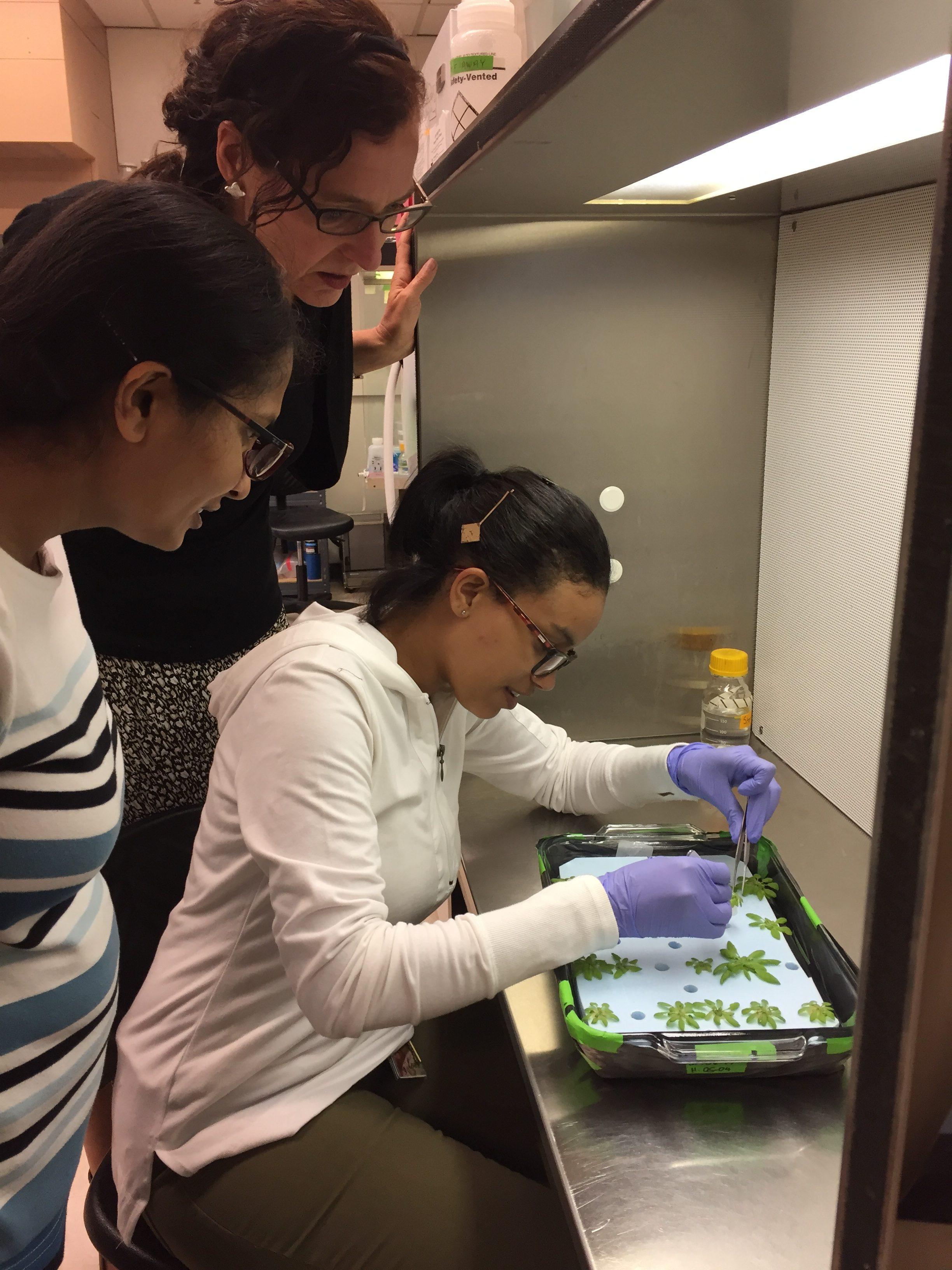 Lee Ann Niekerk works in the lab with Antje Heese, associate professor of plant sciences, and Gayani Ekanayake looking on.