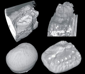 Examples of fossilized crocodile teeth.