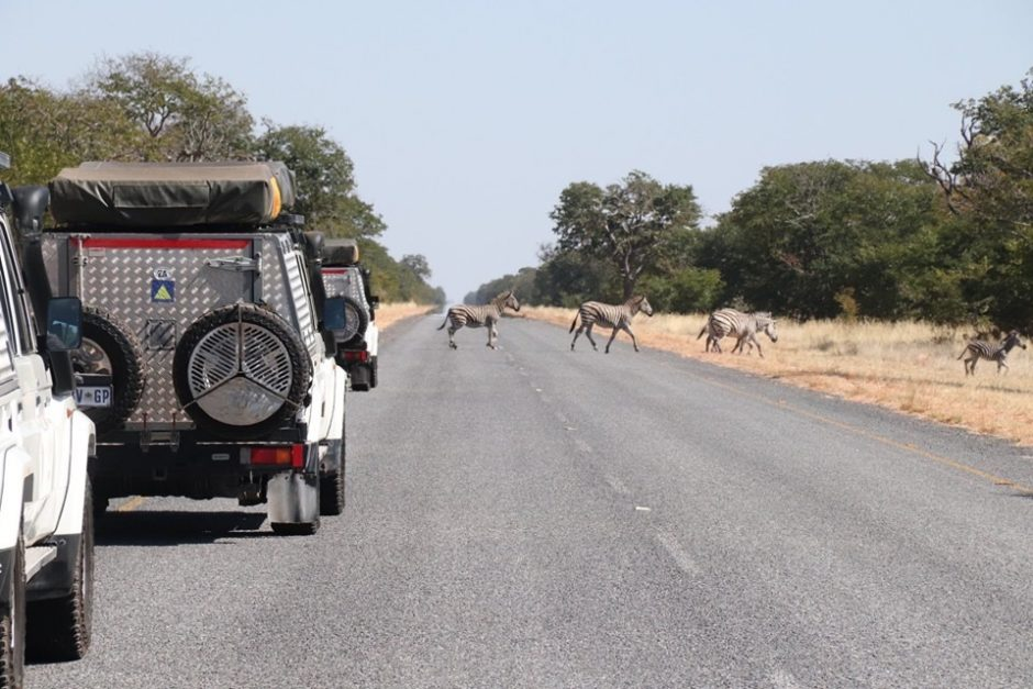 Picture of the cadets' vehicles encountering a group of zebras