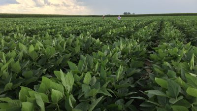 This is a photo of soybean plants.
