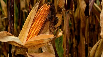 This is a picture of a corn crop.