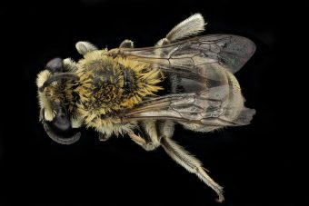 This is a picture of a goldenrod cellophane bee