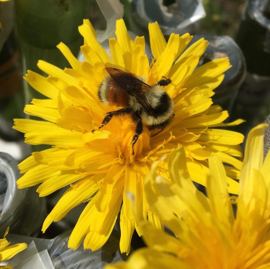 bumblebee visiting a flower