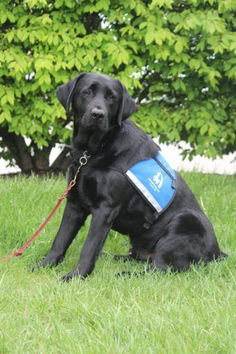 This is a photo of Rhett, a Labrador retriever therapy dog at the Thompson Center.