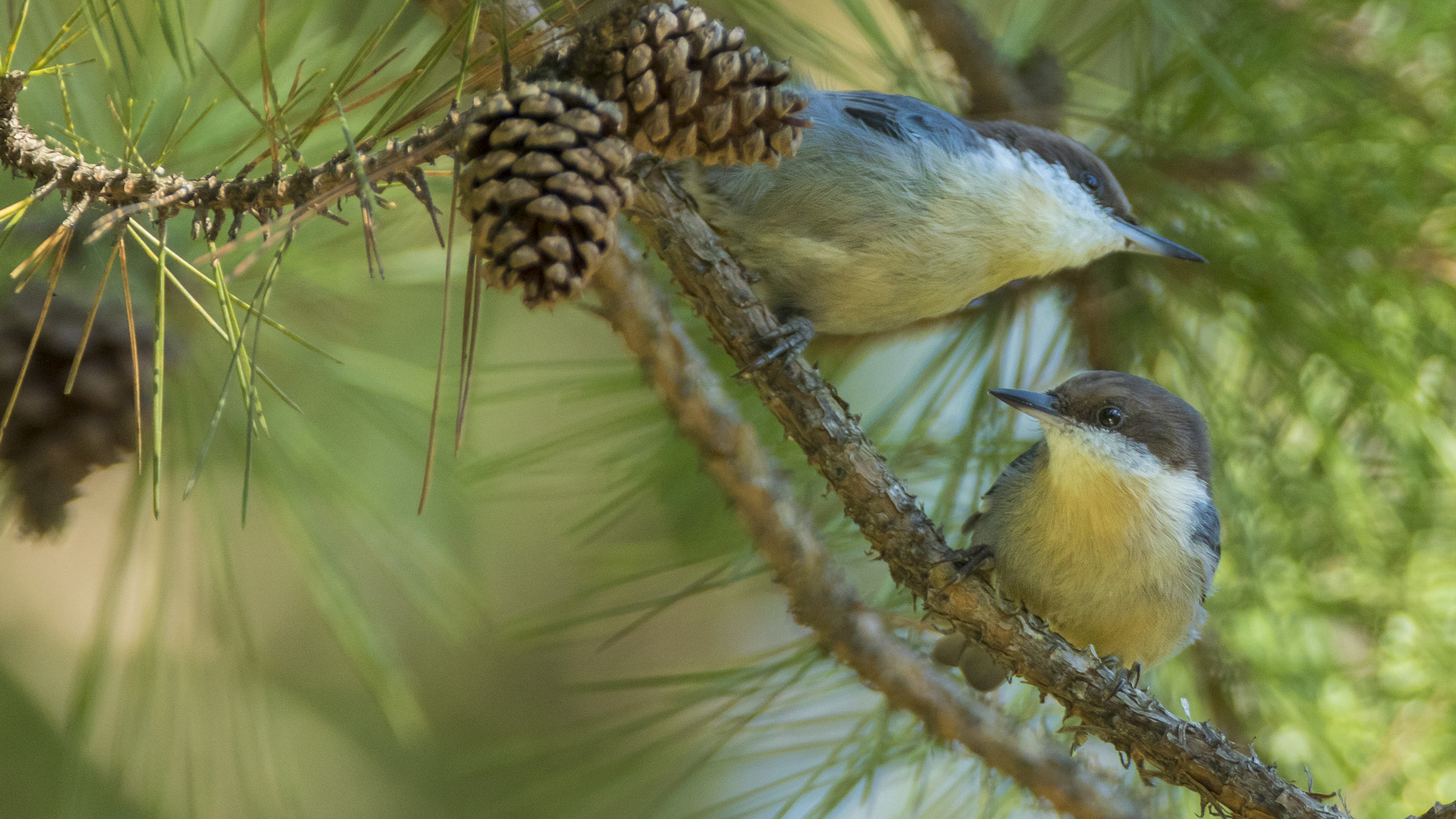 This is a picture of two brown-headed nuthatches