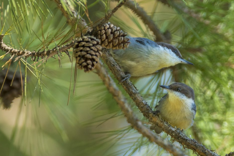 Two brown-headed nuthatches perch in a shortleaf pine tree. Photo courtesy of Noppadol Paohtong/Missouri Department of Conservation.