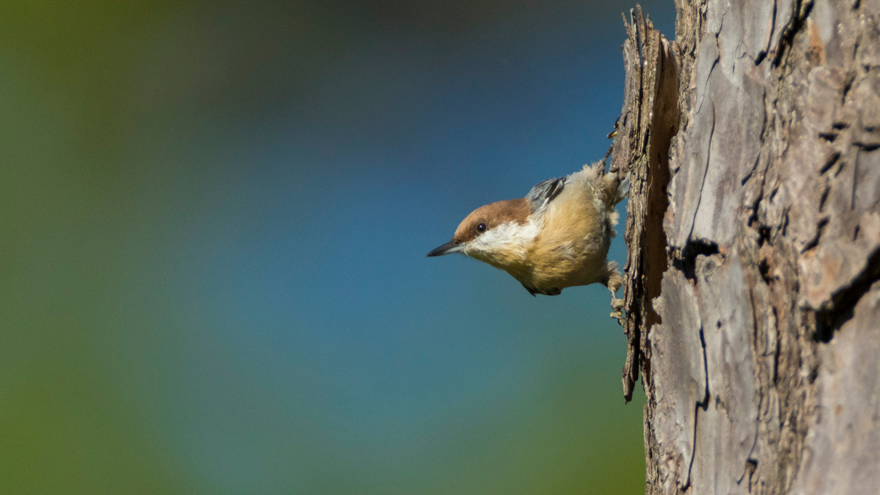 This is an image of a brown-headed nuthatch bird.