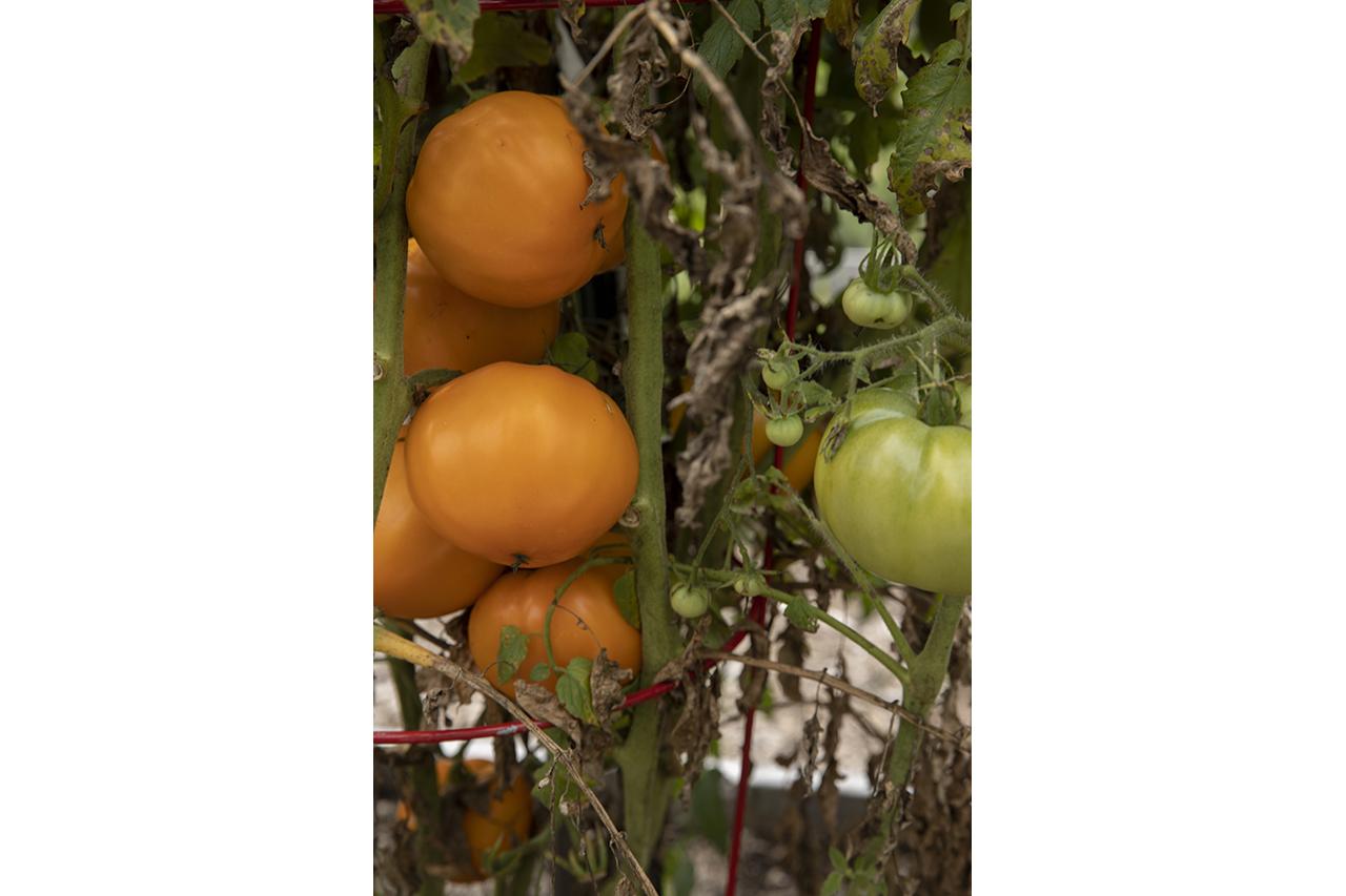 tomatoes in the Kirklin Garden