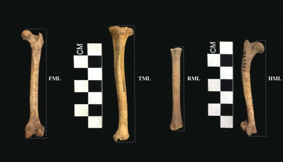 Bones of foxes used in analysis. From left to right: femur, tibia, radius, and humerus.
