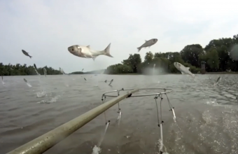 This is a picture of silver carp leaping above the water's surface.