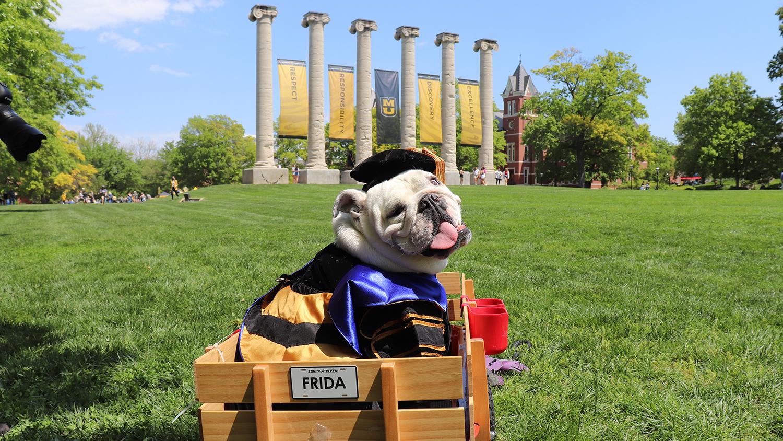 a bulldog in regalia in front of the columns