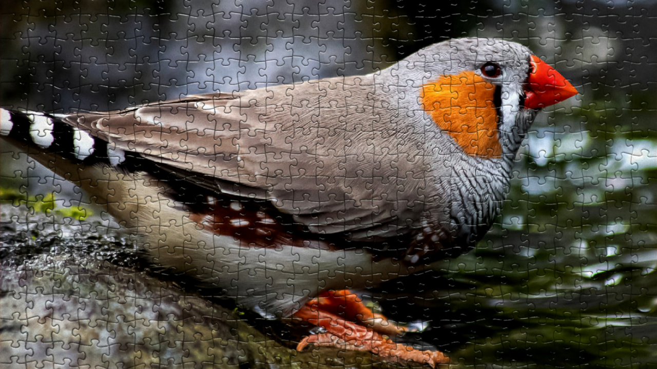 This is a picture of a zebra finch.
