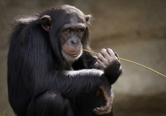 This is a picture of a chimpanzee.