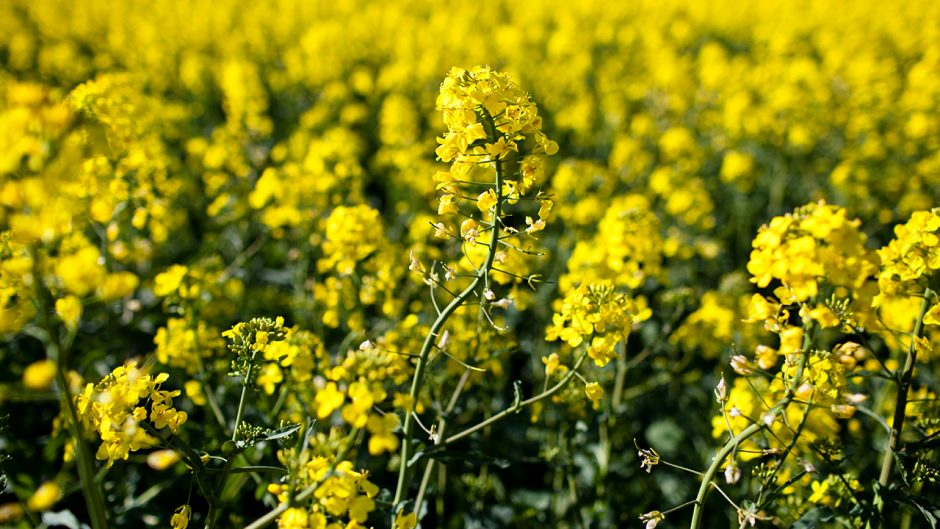 Brassica rapa Source: Shutterstock