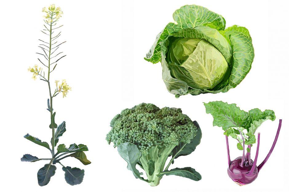 illustration of brassica plant and vegetables