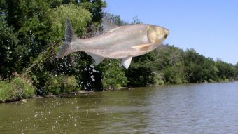 picture of a jumping silver carp