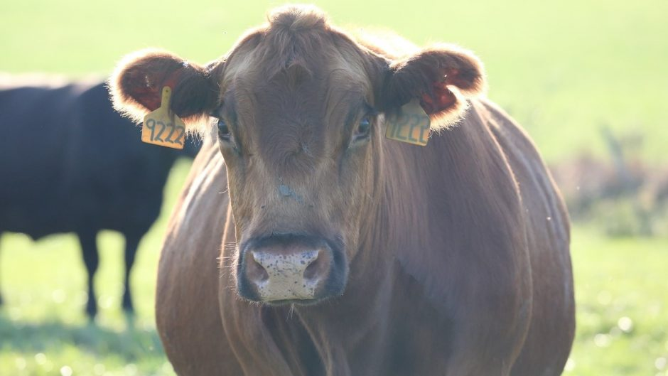 This is a picture of a cow.