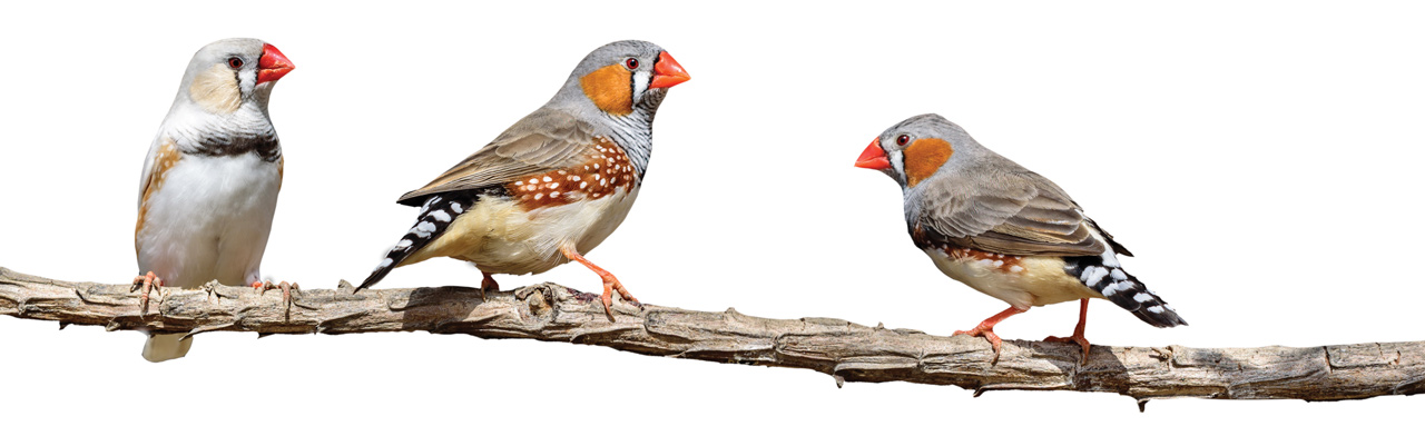 songbirds on a branch