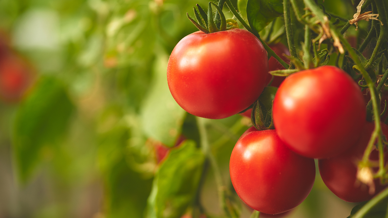 image of a tomato Source: Shutterstock