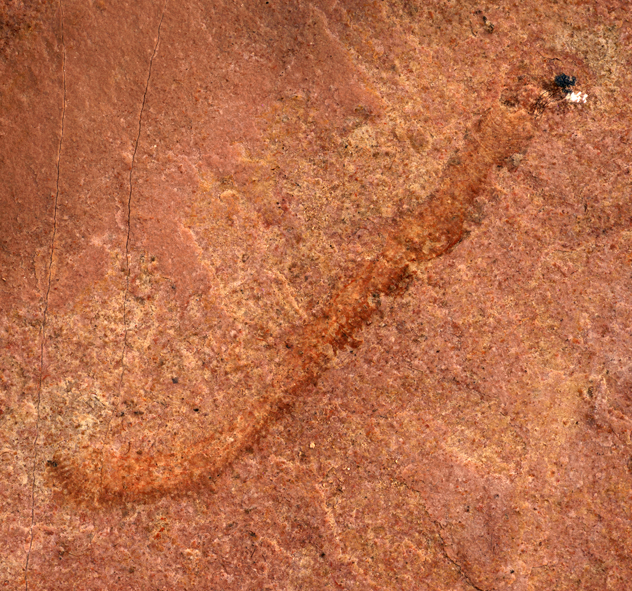 The worm-like creature's fossil is visible as dark red rock in slightly lighter red rock