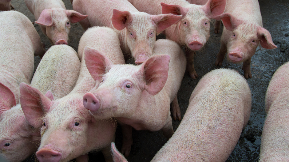 This is an image of a group of pigs.